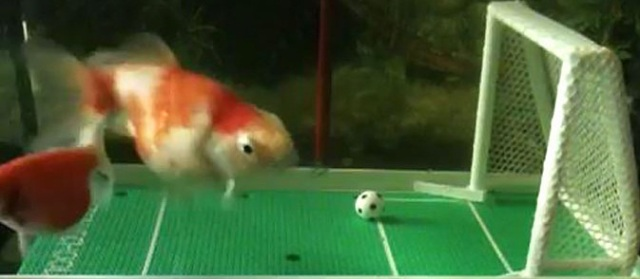 ikanm,askoki-main-bola